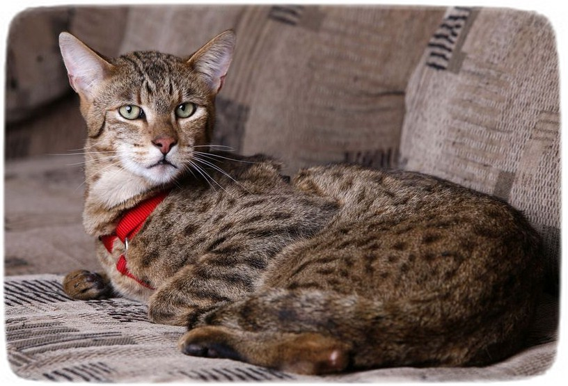 African Wild Cat Domestic