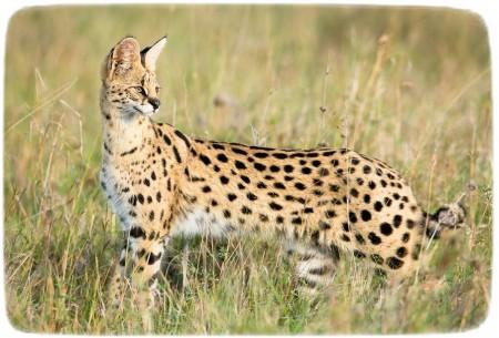 African Wild Cat Images