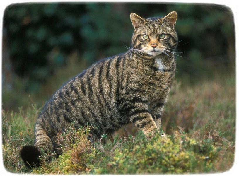 African Wild Cat Kittens