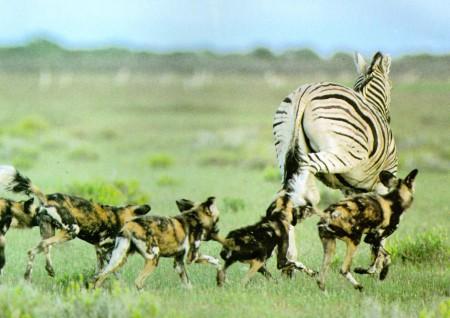 African Wild Dog Habitat
