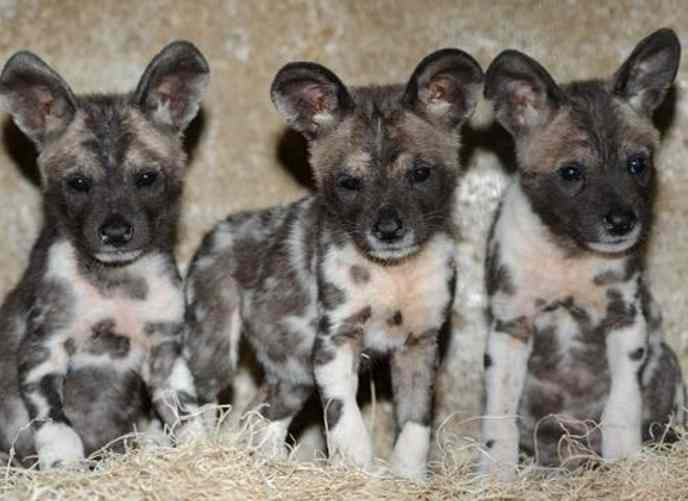 African Wild Dogs As Pets