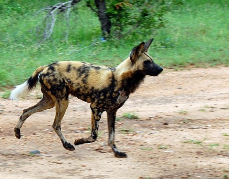 African Wild Dogs Endangered