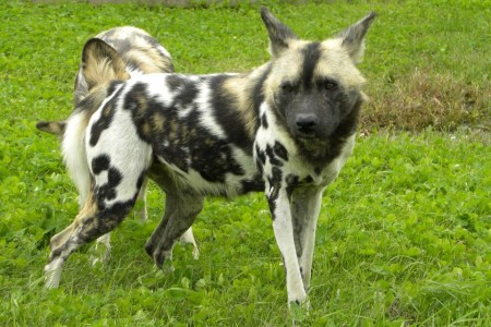 African Wild Dogs Pictures