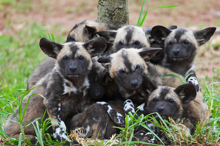 African Wild Dogs Pups