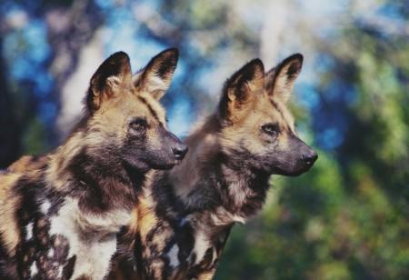 African Wild Dogs Wallpaper