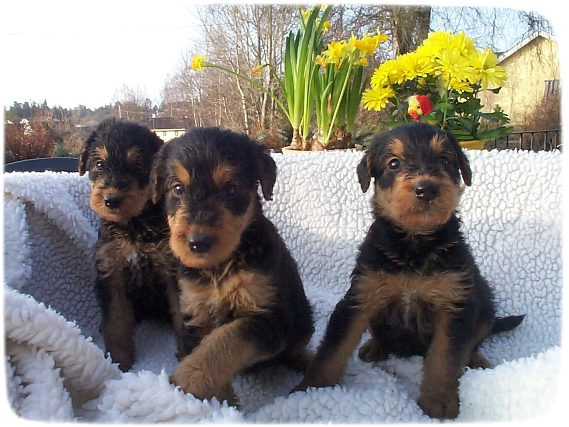 Airedale Terrier Puppies 8 Weeks