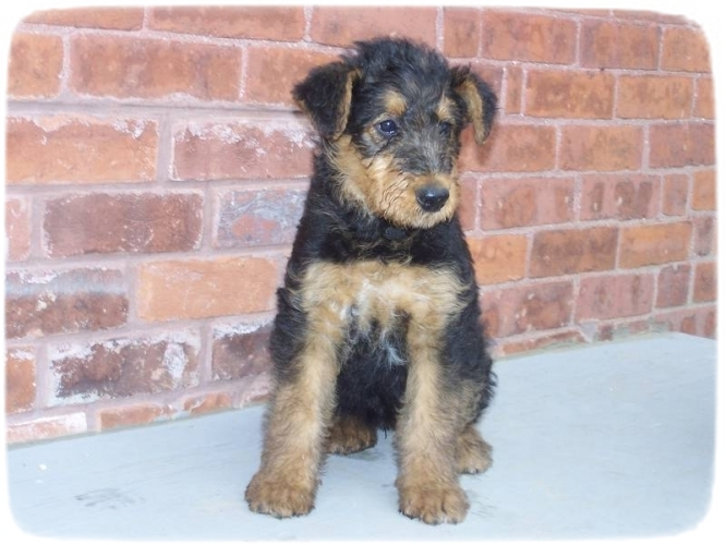 Airedale Terrier Puppies Texas