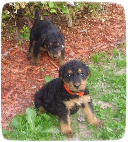 Airedale Terrier Puppies Uk