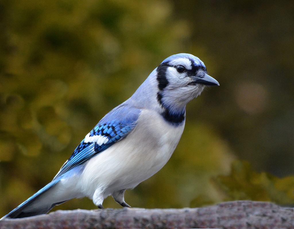 All About Birds Blue Jay