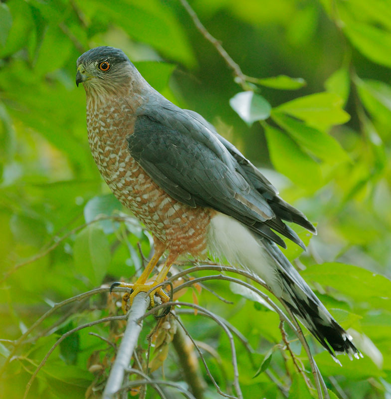 All About Birds Cooper's Hawk
