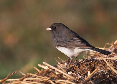 All About Birds Junco