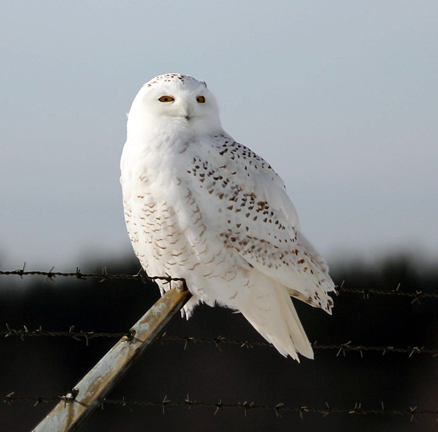 All About Birds Snowy Owl