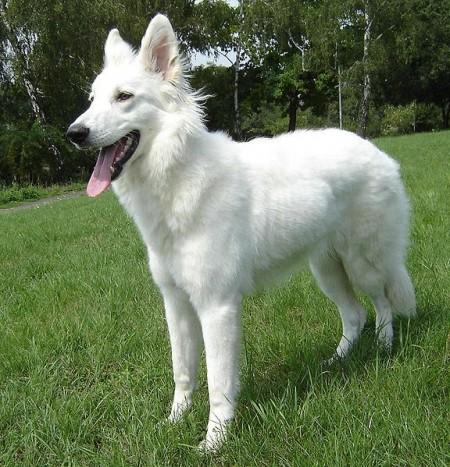 All Shepherd Dog Breeds