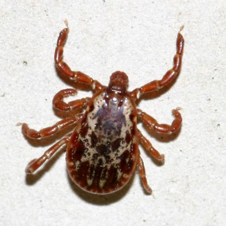 American Dog Tick Pictures