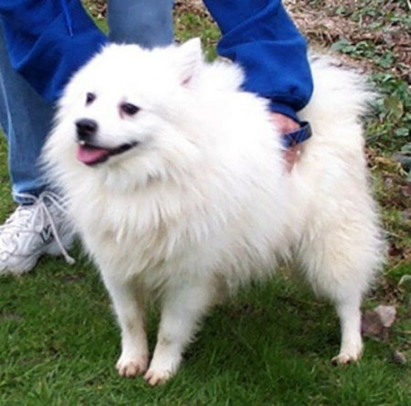 American Eskimo Puppies Miniature