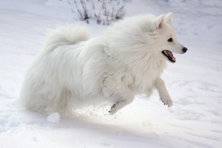 American Eskimo Puppies Wallpaper