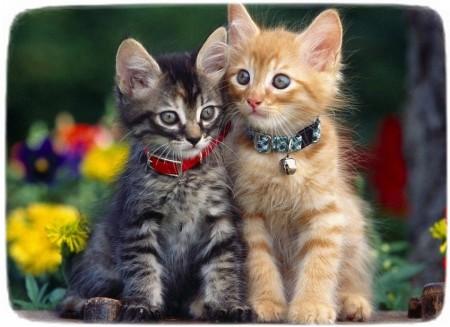 American Shorthair Cat Breeders