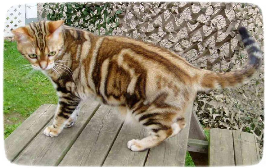 American Shorthair Cat Calico
