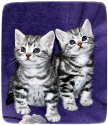 American Shorthair Cat Tabby
