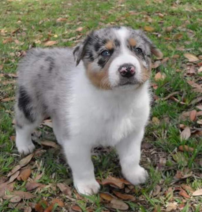 Australian Cattle Dog Beagle Mix