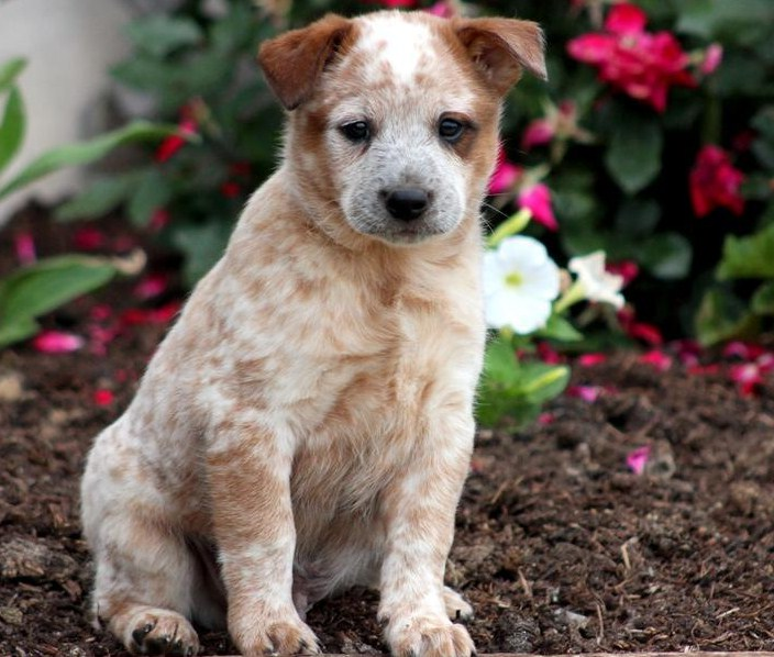 Australian Cattle Dogs Puppies