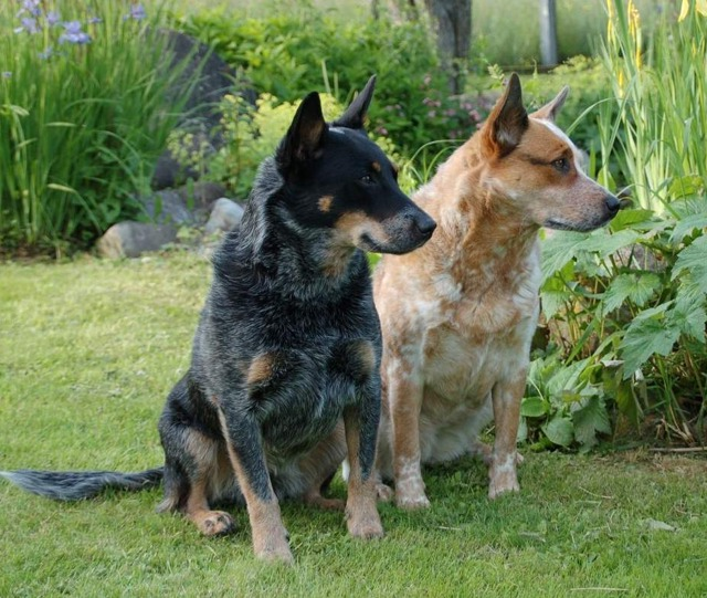 Australian Cattle Dogs Red