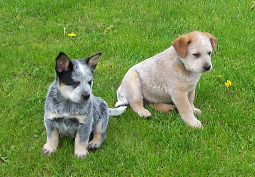 Australian Cattle Dogs South Africa