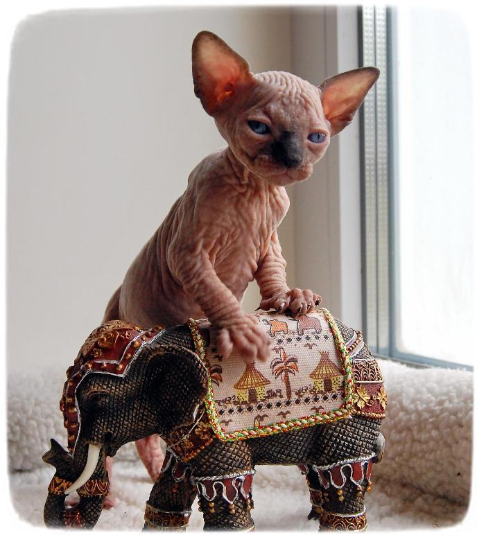 Baby Hairless Cat Breeds