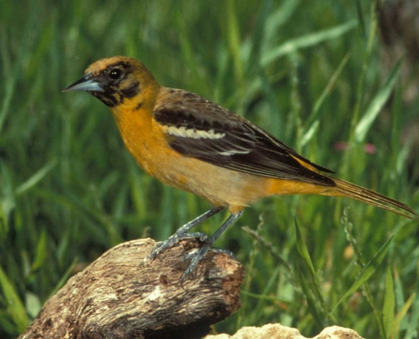 Baltimore Oriole Bird Female