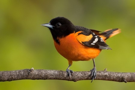 Baltimore Oriole Bird Flying