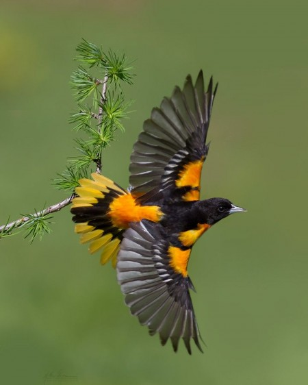 Baltimore Oriole Bird Images
