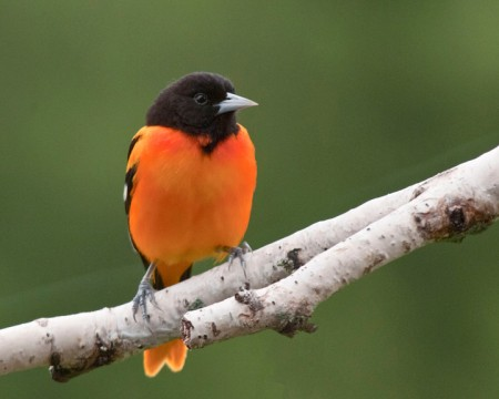 Baltimore Oriole Bird Male