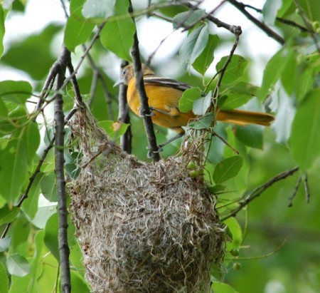 Baltimore oriole bird nest
