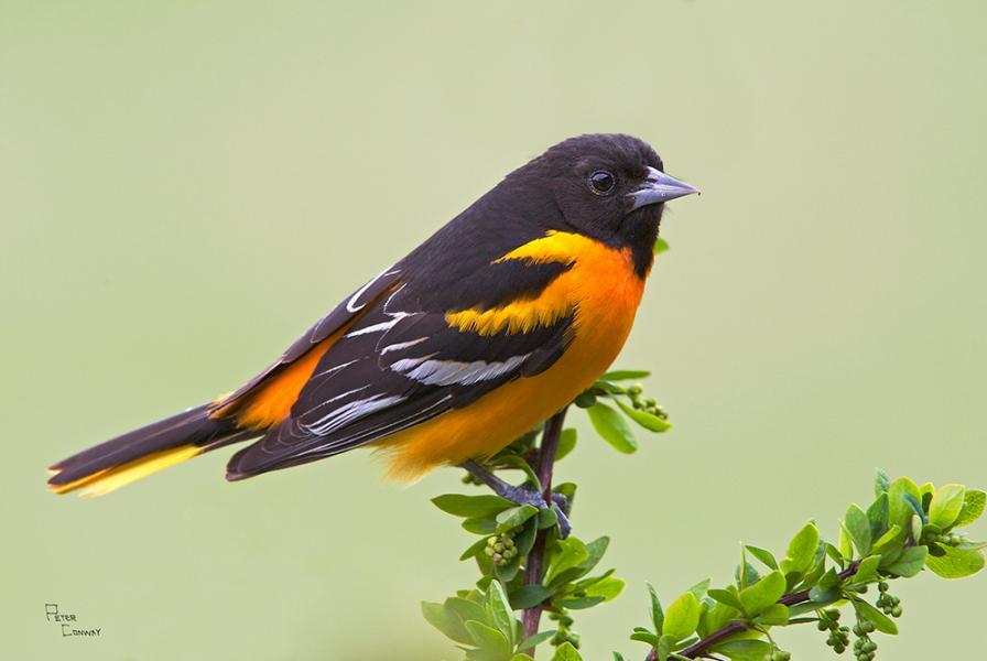 Baltimore Oriole Bird Pictures