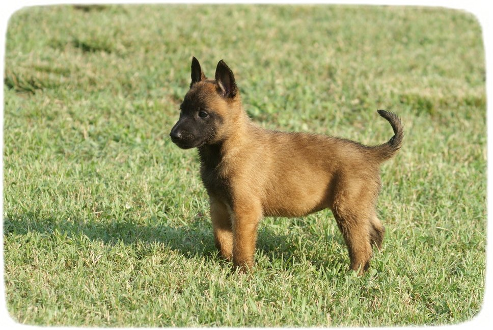 Belgian Malinois Puppies For Adoption