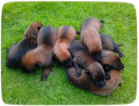 Belgian Malinois Puppies Images