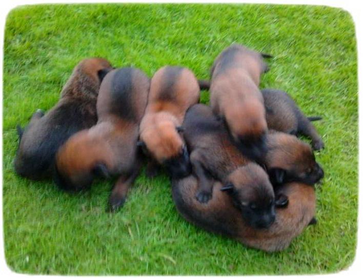 Belgian Malinois Puppies Images