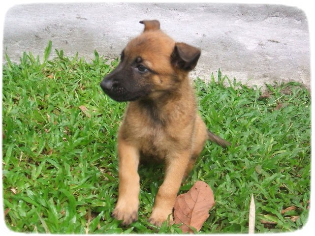 Belgian Malinois Puppies Mix