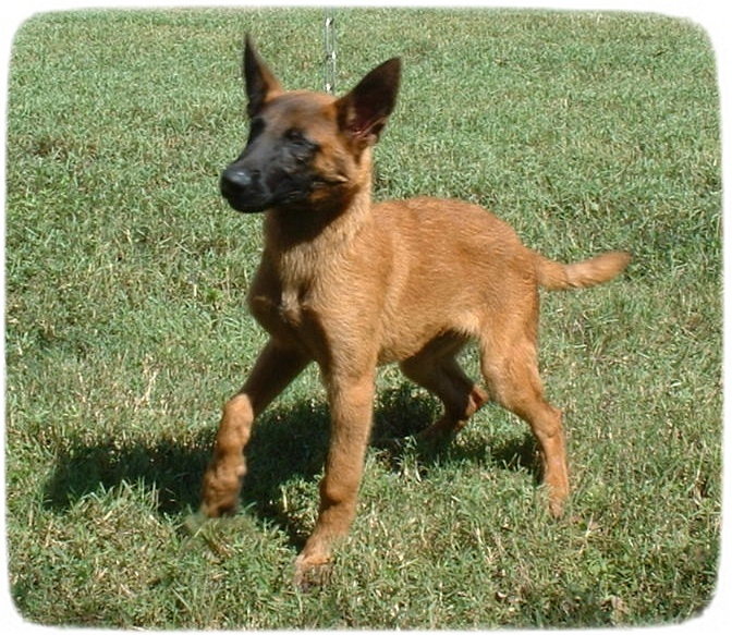 Belgian Malinois Puppies Uk