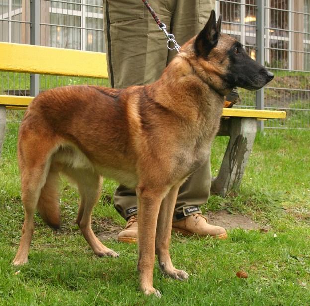Belgian Malinois Shepherd Dog Breeds