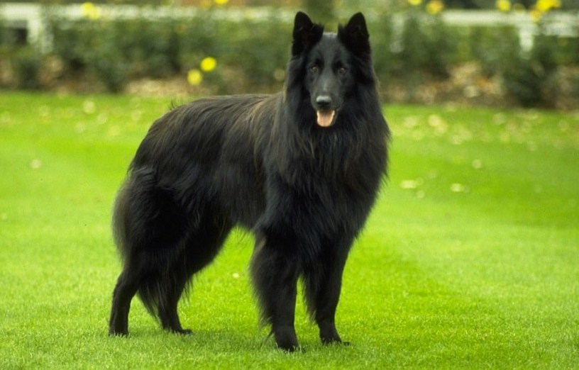 Belgian Shepherd Dog Breeds