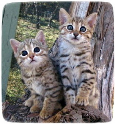 Bengal Cats For Adoption