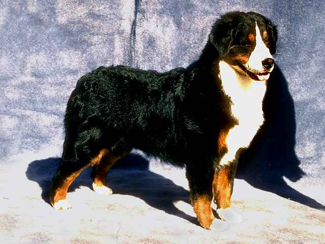 Bernese Mountain Dog Extra Large Dog Breeds