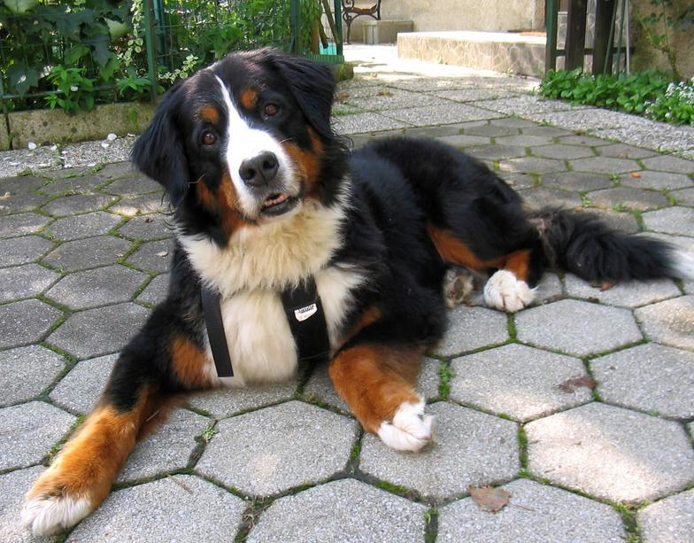 Bernese Mountain Dog Full Grown