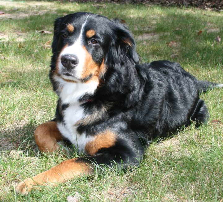 Bernese Mountain Dog German Shepherd Mix