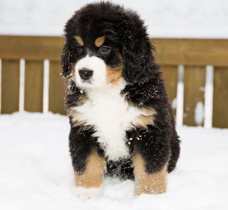 Bernese Mountain Dog Puppies In Snow