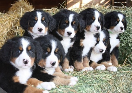 Bernese Mountain Dog Rescue Ca