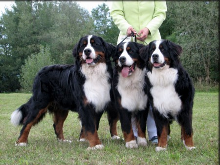 Bernese Mountain Dog Rescue Colorado