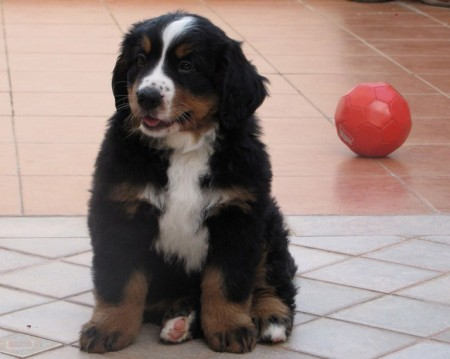 Bernese Mountain Dog Rescue Ohio