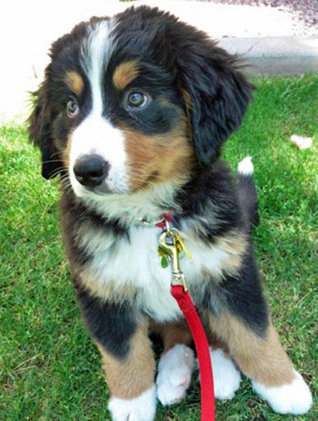 Bernese Mountain Dog Rescue Pa